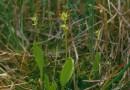 Planta rara din era glaciara la Cluj